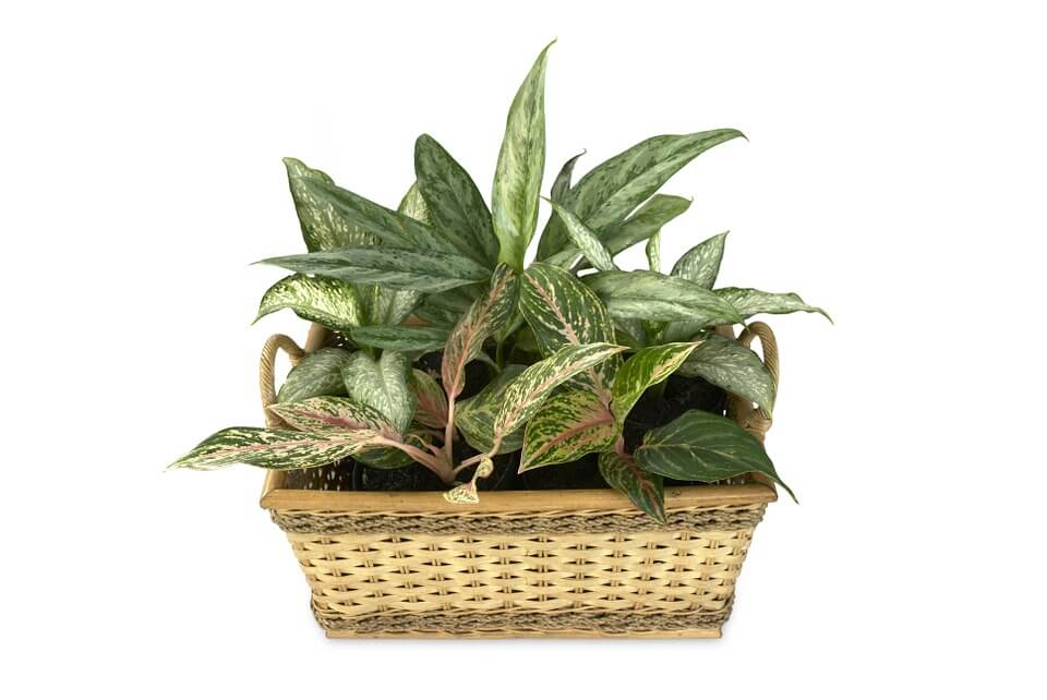 Aglaonema houseplant